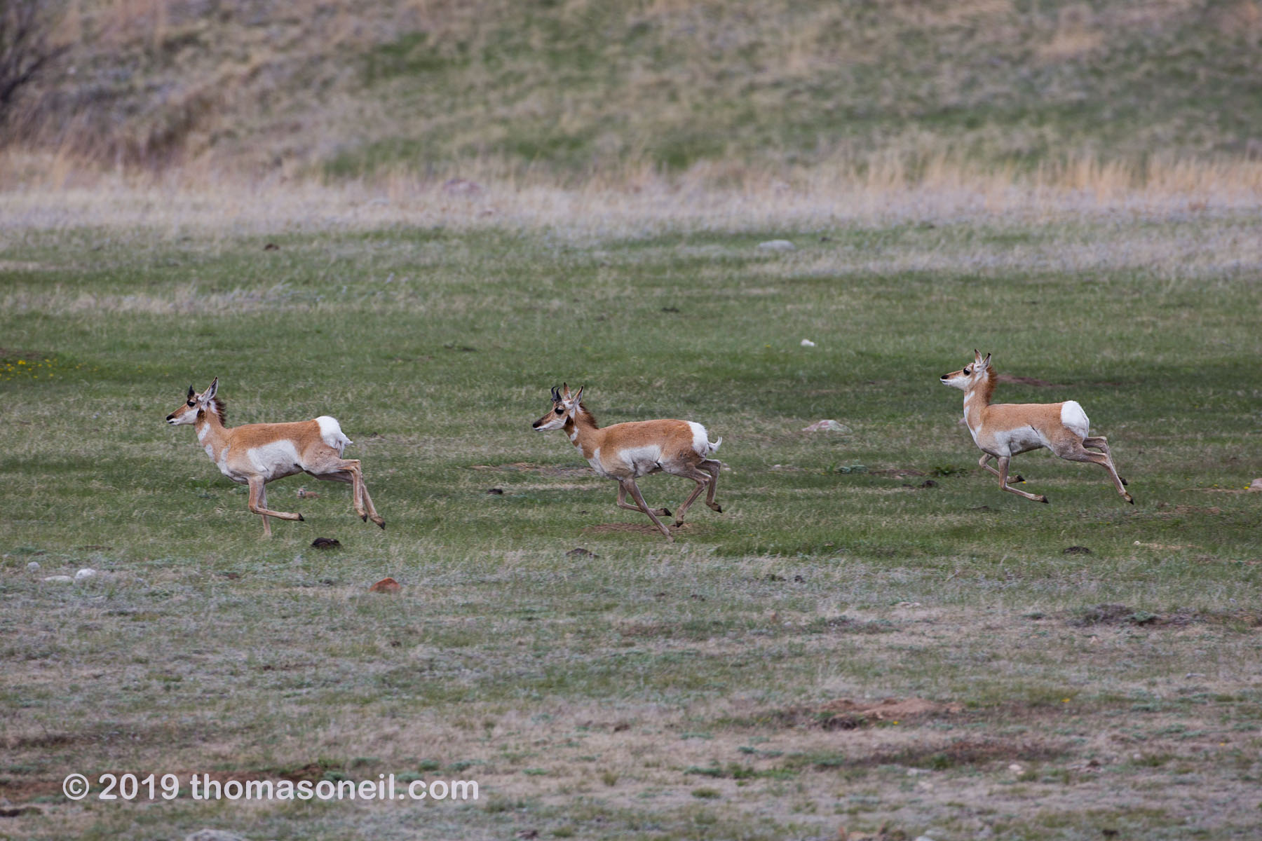Pronghorns, Custer State Park, May 2019.  Click for next photo.