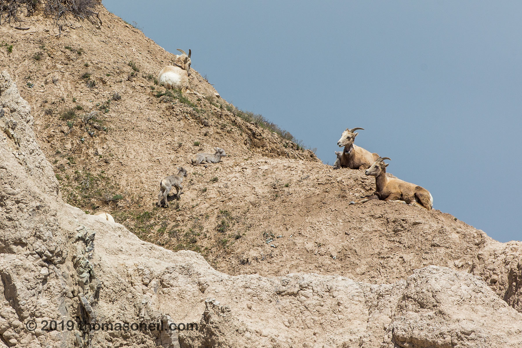 Bighorns on the peak above Ancient Hunters Overlook, Badlands National Park, May 2019.  There are two lambs in the center of the image and another partially obscured by his mother at upper right.  Click for next photo.