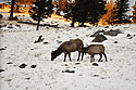 Elk near Mammoth Hot Springs, Yellowstone National Park, January 30, 2019.  Photo by Susan Pilaszewski-O�Neil.