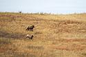 Bighorn ram chasing an ewe across the field, Badlands National Park, November 2019.