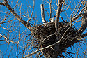 Bald Eagle in nest, Loess Bluffs NWR, December 2019.