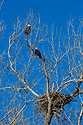 Bald Eagles near the nest, Loess Bluffs NWR, December 2019.