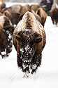 Bison on the road, Yellowstone National Park, January 25, 2019.
