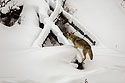 Coyote completes jump onto the fallen tree, Yellowstone National Park, January 25, 2019.