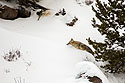 Coyote trudges through the snow, Yellowstone National Park, January 25, 2019.