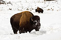 Bison, between Mammoth and Tower, Yellowstone National Park, January 31, 2019.