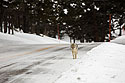 Coyote ambling down the road between Tower and Lamar Valley, Yellowstone National Park, January 30, 2019.