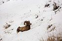 Bighorn in the Lamar Valley, Yellowstone National Park, January 30, 2019.