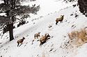 Bighorns in the Lamar Valley, Yellowstone National Park, January 30, 2019.  One ram, two ewes (one with locator collar), and one lamb.