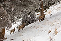 Bighorns in the Lamar Valley, Yellowstone National Park, January 30, 2019.  Ram, ewe and lamb.