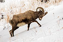 Bighorn digs through the snow to reach grass, Lamar Valley, Yellowstone National Park, January 30, 2019.