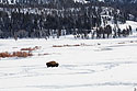 Bison in the Lamar Valley, Yellowstone National Park, January 30, 2019.