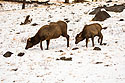Elk near Mammoth Hot Springs, Yellowstone National Park, January 30, 2019.  Photo by Susan Pilaszewski-O�Neil with my camera.