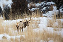 Elk in Mammoth Hot Springs, Yellowstone National Park, January 31, 2019.
