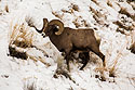 Bighorn in the Lamar Valley, Yellowstone National Park, January 31,  2019.