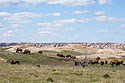 Bison herd on private land south of Badlands National Park, May 2019.