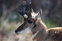 Pronghorn, Custer State Park, May 2019.