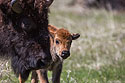 Baby bison, Custer State Park, May 2019.