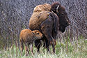 Baby bison looking for milk, Custer State Park, May 2019.