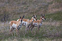 Pronghorns, Custer State Park, May 2019.