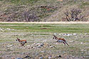 The old pronghorn buck chases a member of its herd, Custer State Park, May 2019.