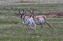 The old pronghorn buck (left) chases a member of its herd, Custer State Park, May 2019.