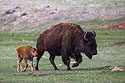 Bison, Custer State Park, May 2019.