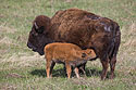 Baby bison finds milk, Custer State Park, May 2019.