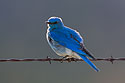 Mountain Bluebird, Custer State Park, May 2019.