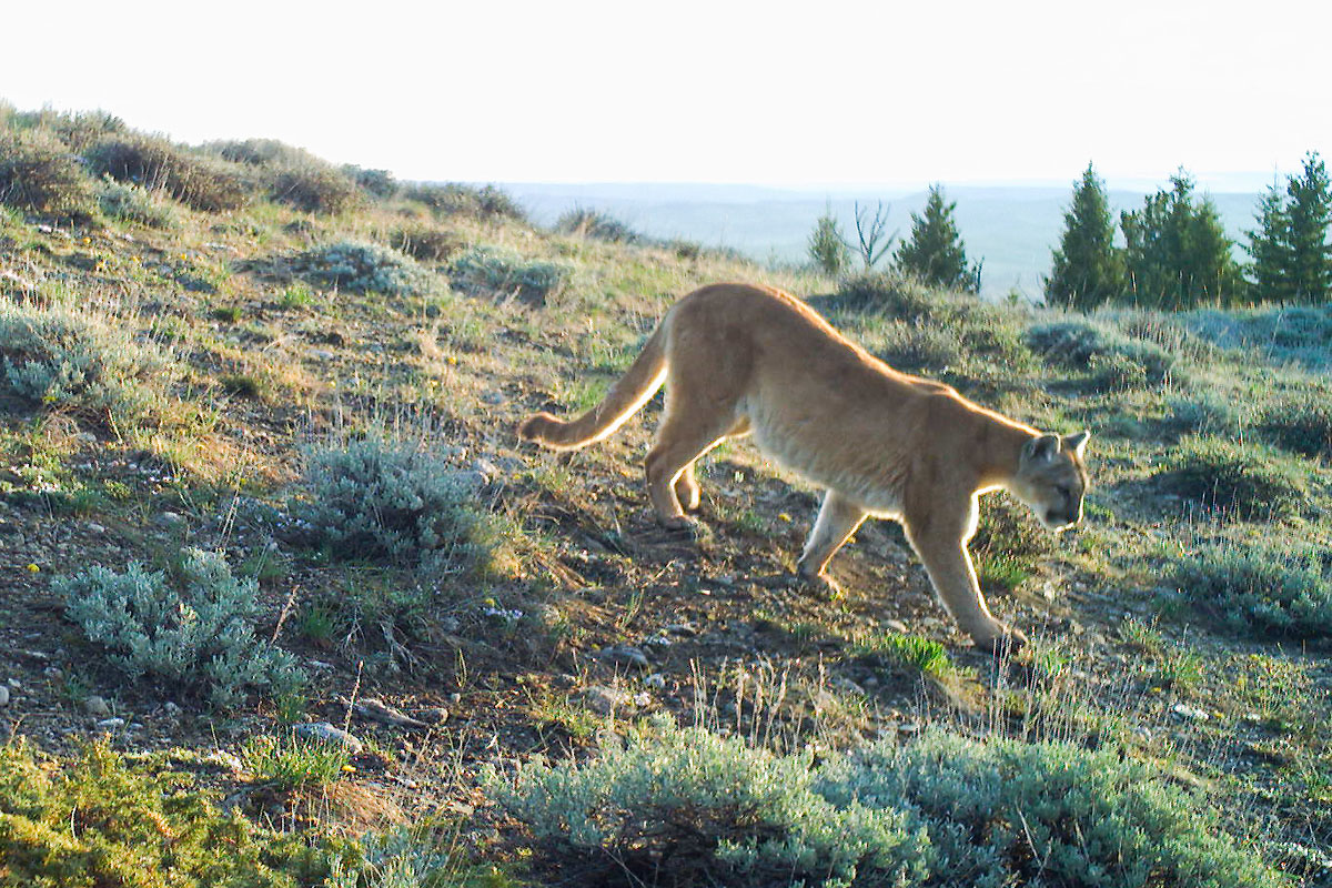 Mountain Lion near Luther, MT, 2020.  Cropped version, next image is uncropped.  Click for next photo.
