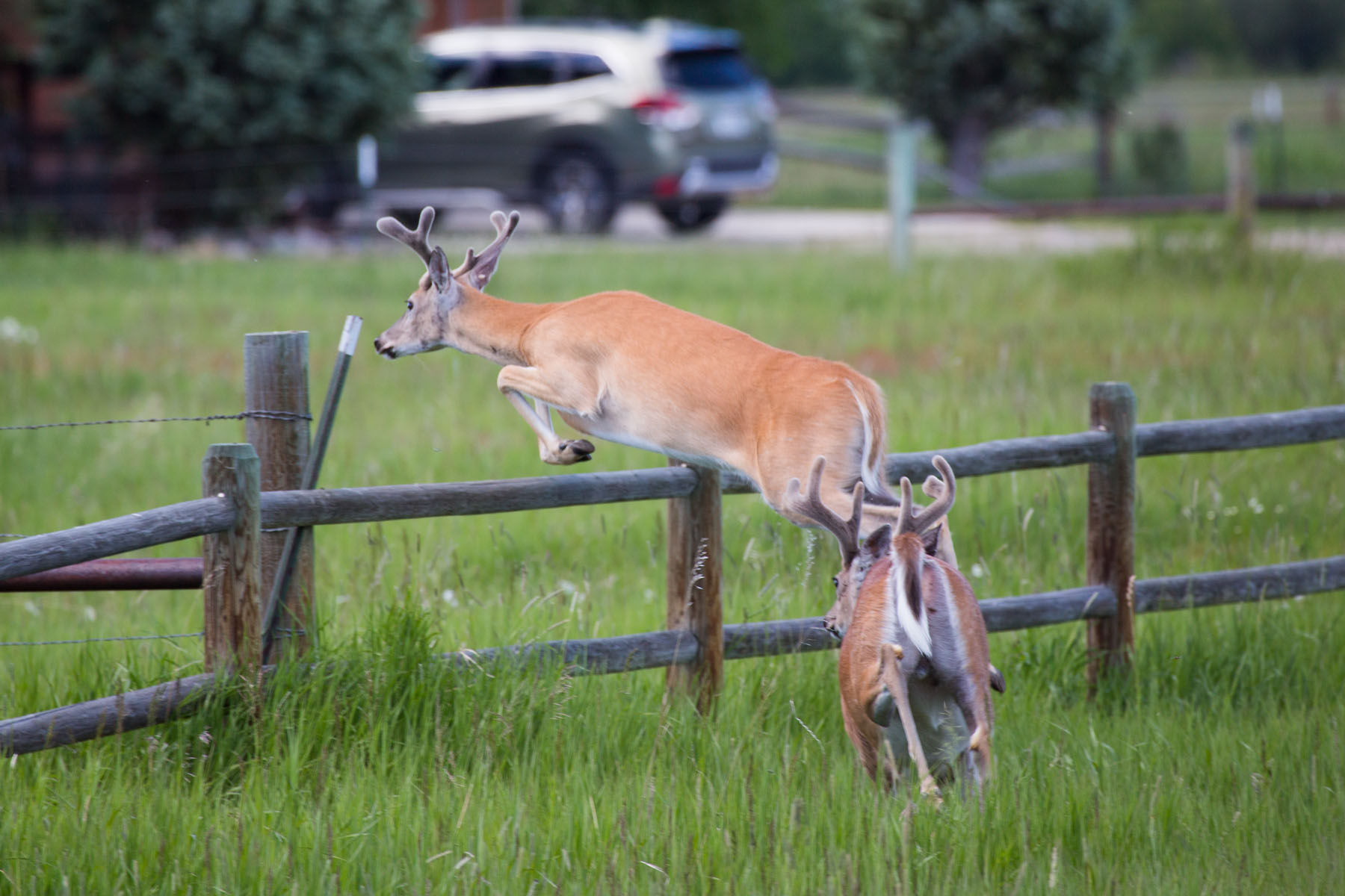 Deer takes a fence, Red Lodge, MT, July 2020.  Click for next photo.