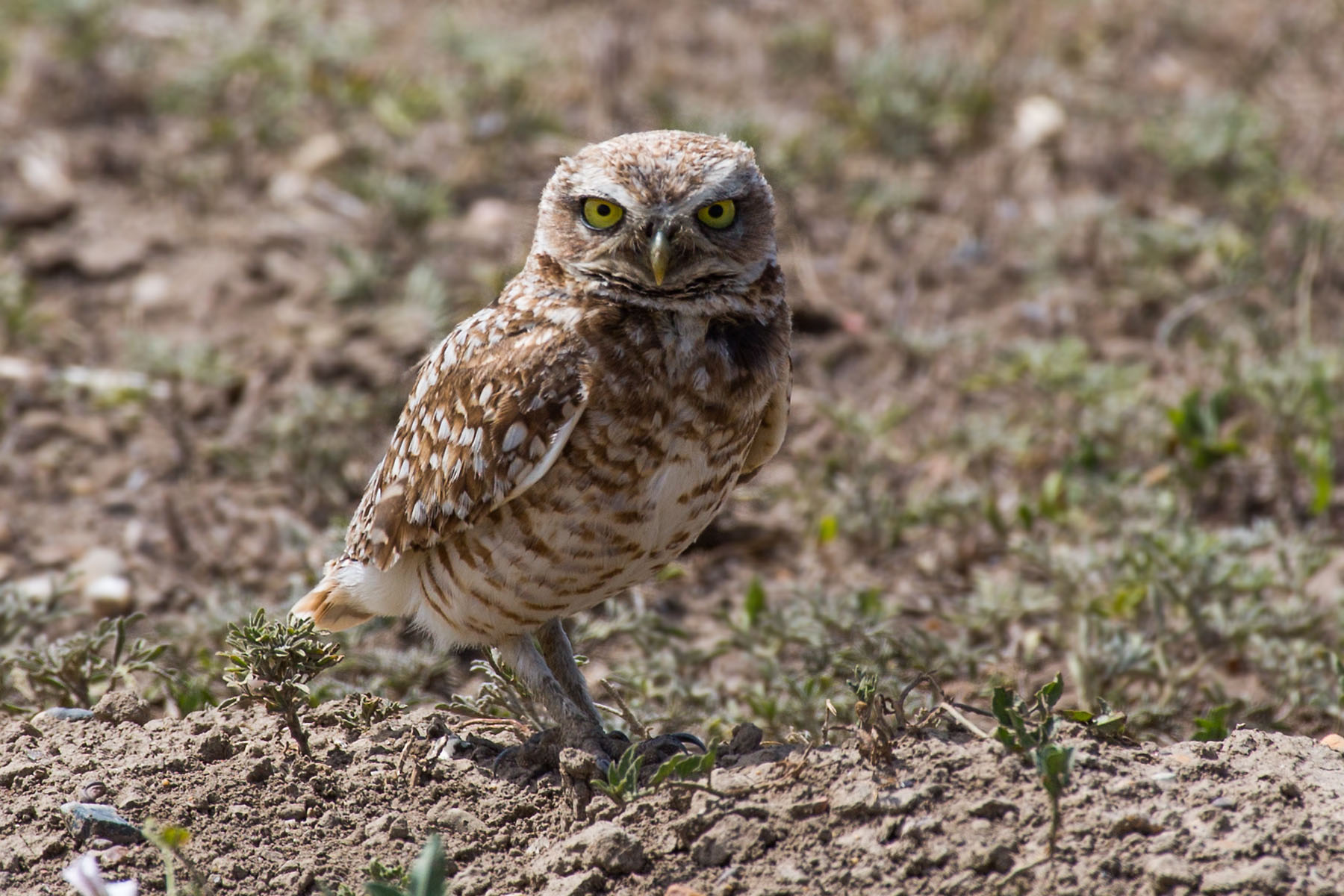 Burrowing Owl, Badlands National Park, summer 2020.  Click for next photo.