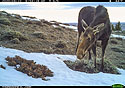 Moose near Luther, MT, 2020.
