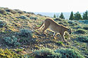 Mountain Lion near Luther, MT, 2020.  Cropped version, next image is uncropped.