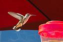 Hummingbird, Camp Hale, CO, 2020.