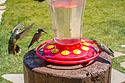 Hummingbirds, Camp Hale, CO, 2020.