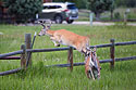Deer takes a fence, Red Lodge, MT, July 2020.
