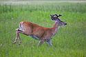 Deer in back yard, Red Lodge, MT, July 2020.