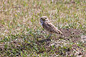 Burrowing Owl, Badlands National Park, summer 2020.