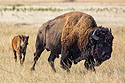 Bison jogging across the prairie near Badlands National Park, summer 2020.