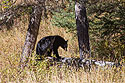 Black bear in Lamar Valley, Yellowstone National Park, September 2020.