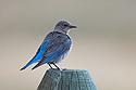 Bluebird, Red Lodge, Montana, May 2021.