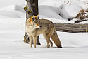 Coyote, January 2021.