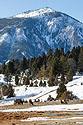 Elk near Mammoth Hot Springs, Yellowstone, March 2021.