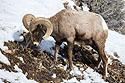 Bighorn, Lamar Valley, Yellowstone, March 2021.