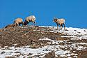 Bighorns, Lamar Valley, Yellowstone, March 2021.