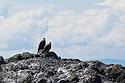 Bald eagles, Puget Sound, Washington, May 2021.