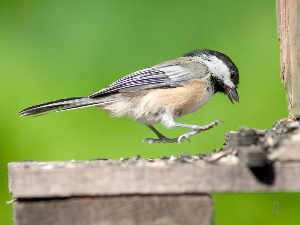 A chickadee jumps a sunflower seed in my back yard birdfeeder.  Click for next photo.