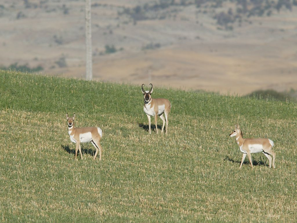 Pronghorns cut through a field, Montana.  Click for next photo.