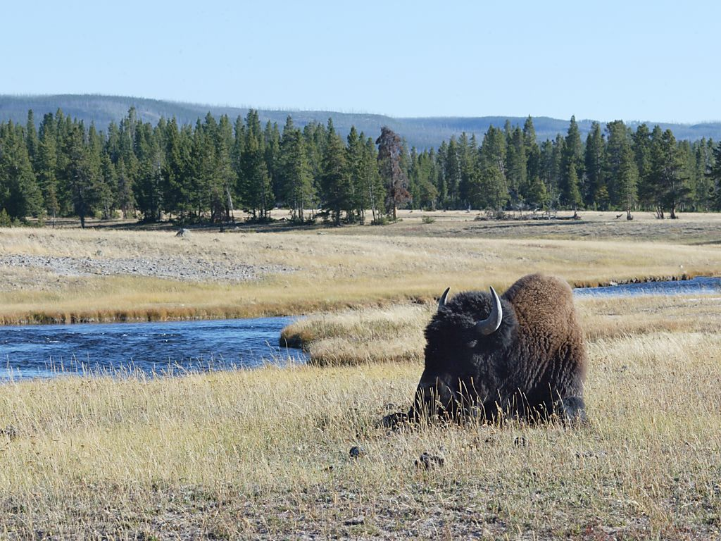 Bison dozes in a Yellowstone valley.  Click for next photo.